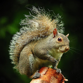 Tree Rat by Paul Mays - Animals Other Mammals (  )