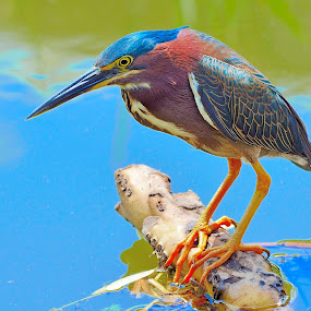 resting Heron by Alan Potter - Animals Birds