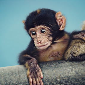 Barbary Macaques baby by Jackson Visser - Animals Other Mammals ( barbary macaques, gibralter baby )