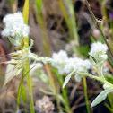 california fluffy weed