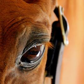 Wise Old Eye by Wendy Meehan - Animals Horses ( horse, eye )
