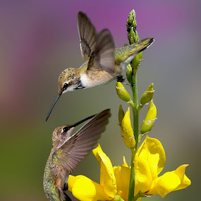 Flower Dancers by Shawn Thomas - Animals Birds (  )