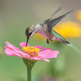 Hummingbird by Kathleen Otto - Animals Other