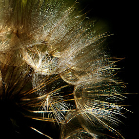 gold fabric by Alex D.  Veriga - Nature Up Close Other plants ( alex veriga, magic, 2013, l6, dandelion, texture, gold fabric, web, beauty, golden, photography )