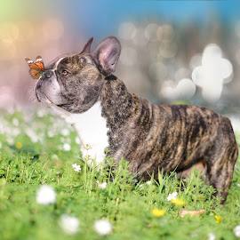 A Bully and a Butterfly by Runa Nightsongwoods - Animals - Dogs Portraits ( butterfly, spring flowers, dogs, sunset, summer, french bulldog, cinematic, flowers, dog, golden hour )