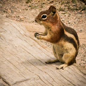 Ground squirrel with tidbit by Del Candler - Animals Other Mammals ( wood, chipmunk, colorado, eating, summer, rocky mountain national park, stripes, ground squirrel,  )
