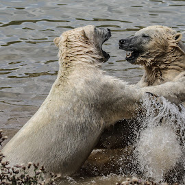 'Ave it! by Garry Chisholm - Animals Other Mammals ( bear, polar, garry chisholm, nature, wildlife )