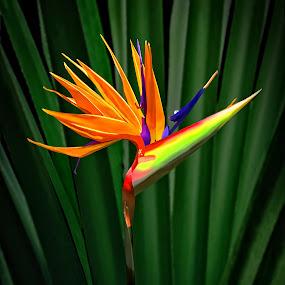 Bird of Paradise 3 by Joseph Vittek - Flowers Single Flower ( plant, orange, green, yellow, paradise, tropics, bird, blue, islands, bird of paradise, gold, flower, hawaii,  )