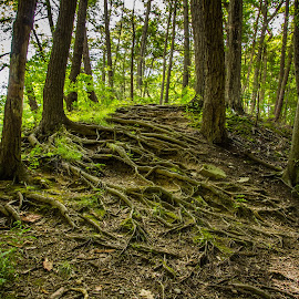 Natural ladder by Teresa Husman - Nature Up Close Other Natural Objects ( green, roots, trees, forest, new york,  )