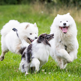 by Peter Grutter - Animals - Dogs Playing ( dogs, shetland sheepdog, samoyed, sheltie, walk )