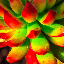 Aeonium. Species to be determined. by Tom Harnish - Nature Up Close Other plants