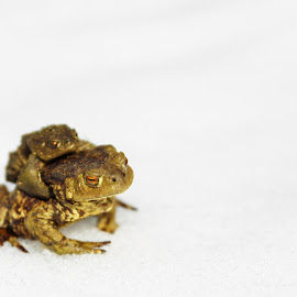 Frog Family by Marius Feilhauer - Animals Amphibians ( child, winter, cold, frog, green, white, amphibians )