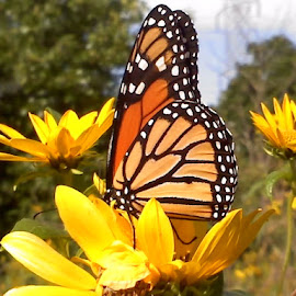 Monarch Sunflower by Nancy Tonkin - Animals Insects & Spiders ( butterfly, nature, monarch, sunflower )
