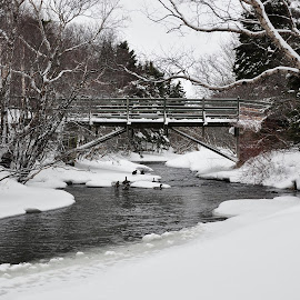 Waterford River by Harold Bradley - Landscapes Waterscapes ( walking, winter, hiking.trail, ducks, trees, forest, river freshwater, bridge, trails, wintertime )