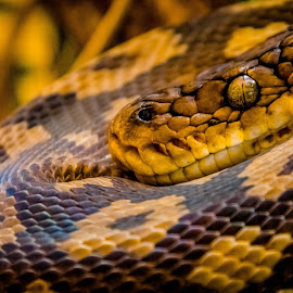 python by Dale Youngkin - Animals Reptiles ( python, snake, reptile, snakes, herpetofauna )