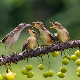 Zitting cisticola by Bernard Tjandra - Animals Birds