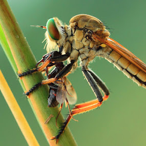 Lunch by Said  Ikhsan - Animals Insects & Spiders ( macro )