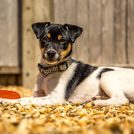 On guard by Richard Simpson - Animals - Dogs Puppies ( puppies, jack russell, dogs, jack, jack russell terrier, pup, puppy, terrier, dog )