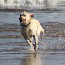 On the beach by David Lyon - Animals - Dogs Running