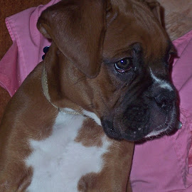 What a Face by Sandy Stevens Krassinger - Animals - Dogs Portraits ( sad, boxer, puppy, dog, animal,  )