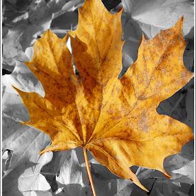 őszi levél by Zlatko Sarcevic - Nature Up Close Leaves & Grasses ( b&w, colors, nature up close, ősz, leaves,  )
