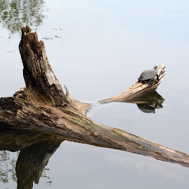 Perspective by Barbara Langfeld - Animals Amphibians ( animals, summer, sunshine, lake, humor, turtles, amphibians, preserve )