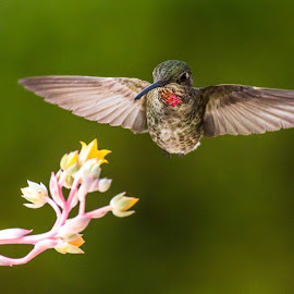 here i is .. by Shane R Fairburn - Animals Birds ( bird, flying, nature, wings, hummingbird, feathers, animal )