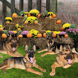 Country bumpkins by Dawn Vance - Digital Art Animals ( animals, dogs, digital art, german shepherd dog, autumn colors, digital photography )