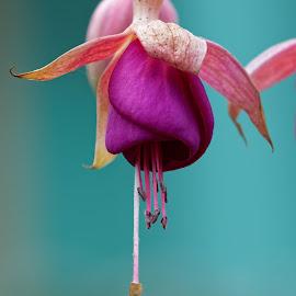 Fuschia Licious by Raphael RaCcoon - Flowers Single Flower ( fushia, fuschia, purple, flower, purple flower )