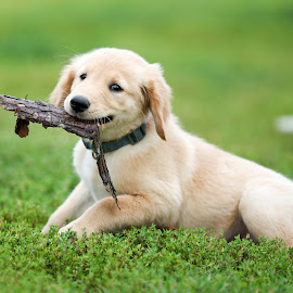 Puppy Play by Peter Marzano - Animals - Dogs Playing