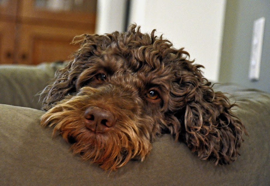 Penny Relaxing by Jonathan White - Animals - Dogs Portraits ( brown eyes, pet, labradoodle, brown hair, dog, cute dog )