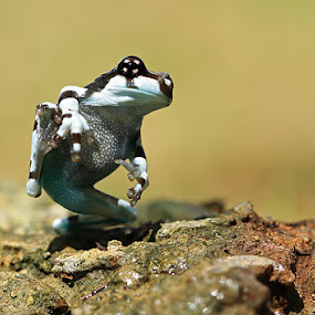 dancing on the rock by Shikhei Goh II - Animals Amphibians ( frog )