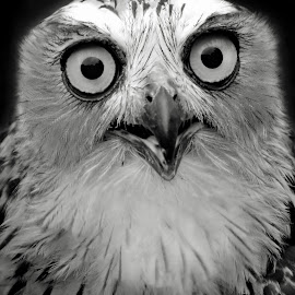 OWL bw by AbngFaisal Ami - Black & White Animals