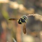 Sleeping Carder Bee