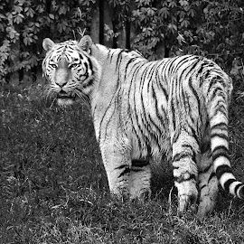 by Wojtylak Maria - Animals Lions, Tigers & Big Cats ( big, striped )