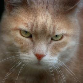 by Kristijan Siladić - Animals - Cats Portraits