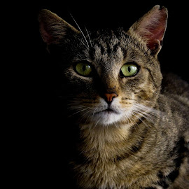 cat by Monika St - Animals - Cats Portraits ( black background, cat, staring, pet, green, dark, animal, eyes )