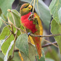 Yellow-billed Lorrikeet