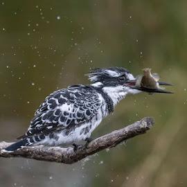 Breakfast for Pied Kingfisher by Charmaine Pypers - Uncategorized All Uncategorized