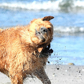 A Good Shake After a good Swim by Christine McEwan - Animals - Dogs Portraits ( water, swim, beach, shaking, dog, golden retriever )