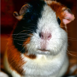 Barney boo by Nic Scott - Animals Other ( pet, rodent, animal, guinea pig )