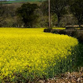 Fields of Yellow by Allan Benson - Landscapes Prairies, Meadows & Fields ( field, rapeseed, crops, yellow, farming )