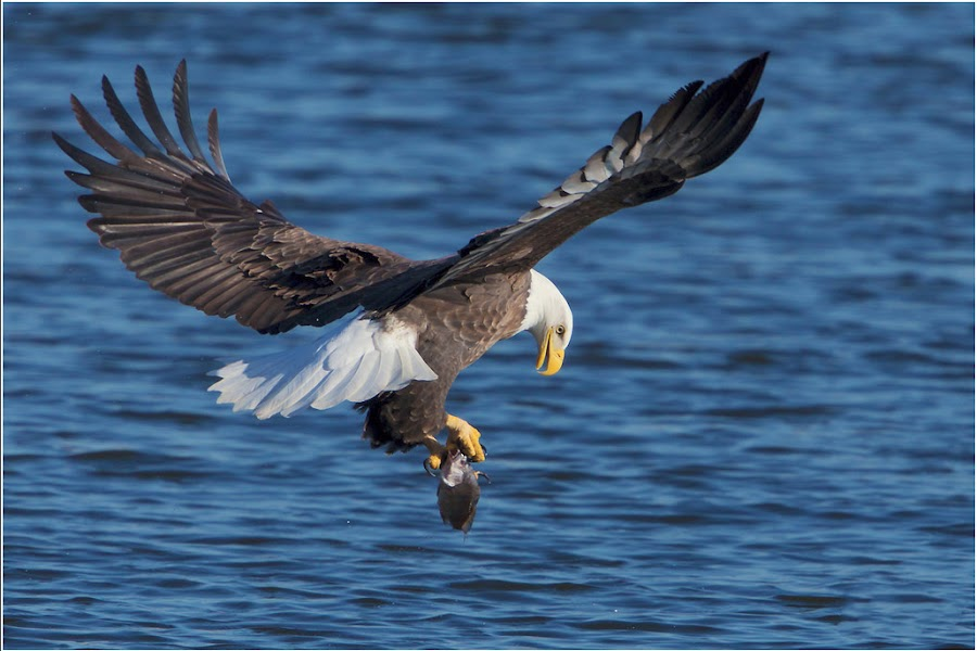 Adult Eagle Grabs Fish... by Jamie Link - Animals Birds ( wild, mississippi river eagle watching, lock and dam 14, wildlife photography, bald eagle, eagles, eagle fishing, davenport iowa, north american bald eagle, national geographic, mississippi river, army core of engineers, raptors, birds in flight )