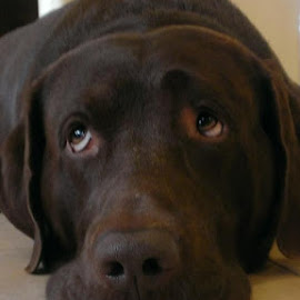 The Eyes Have It by Dorothy Reulein - Animals - Dogs Portraits ( love, hoping, waiting, wishing, patience )