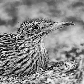 Road Runner by Carl Albro - Black & White Animals ( bird, road runner, black and white )