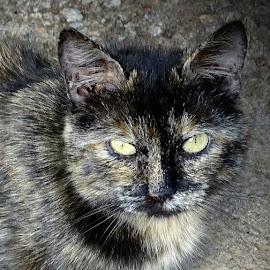 Cat with yellow eyes by Patrizia Emiliani - Animals - Cats Portraits ( cat, yellow, eyes )