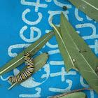 Monarch caterpillars and mama