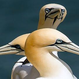 peeka boo by Joseph Ellwood - Animals Birds