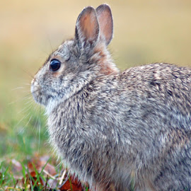 Portrait of Rabbit by Robert Remacle - Animals Other Mammals (  )