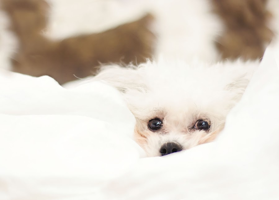 Puppy Snuggles by Chantelle Heiskell - Animals - Dogs Puppies ( puppies, dogs, pets, white, dog portrait, puppy, dog, eyes )